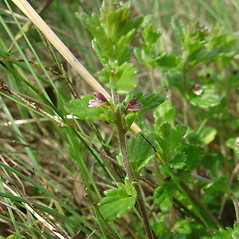 Plant form: Euphrasia randii. ~ By Glen Mittelhauser. ~ Copyright © 2020 Glen Mittelhauser. ~ www.mainenaturalhistory.org