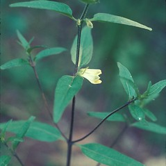 Leaves: Melampyrum lineare. ~ By Lawrence Newcomb. ~ Copyright © 2020 New England Wild Flower Society. ~ Image Request, images[at]newenglandwild.org