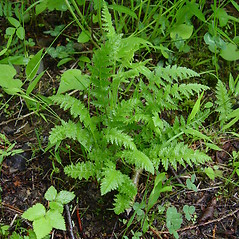 Leaves: Pedicularis furbishiae. ~ By Donald Cameron. ~ Copyright © 2020 Donald Cameron. ~ No permission needed for non-commercial uses, with proper credit