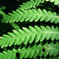 Detail of leaf and/or divisions: Osmunda claytoniana. ~ By Donna Kausen. ~ Copyright © 2021 Donna Kausen. ~ 33 Bears Den, Addison, ME 04606
