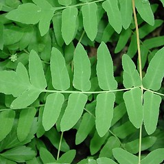 Detail of leaf and/or divisions: Osmunda regalis. ~ By Robbin Moran. ~ Copyright © 2021 Robbin Moran. ~ rmoran[at]nybg.org ~ Plant Systematics - www.plantsystematics.org/