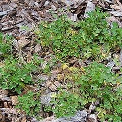 Plant form: Oxalis corniculata. ~ By Paul S. Drobot. ~ Copyright © 2021 Paul S. Drobot. ~ www.plantstogrow.com, www.plantstockphotos.com ~ Robert W. Freckmann Herbarium, U. of Wisconsin-Stevens Point