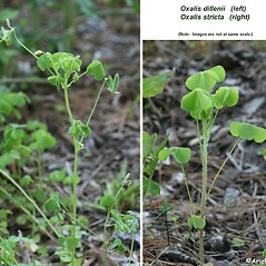 Comparison: Oxalis dillenii. ~ By Arieh Tal. ~ Copyright © 2021 Arieh Tal. ~ www.nttlphoto.com ~ Arieh Tal - www.nttlphoto.com