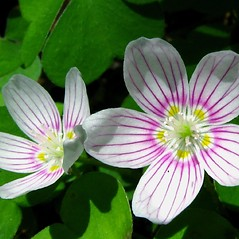 Flowers: Oxalis montana. ~ By Donna Kausen. ~ Copyright © 2020 Donna Kausen. ~ 33 Bears Den, Addison, ME 04606
