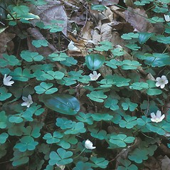 Plant form: Oxalis montana. ~ By Frank Bramley. ~ Copyright © 2020 New England Wild Flower Society. ~ Image Request, images[at]newenglandwild.org