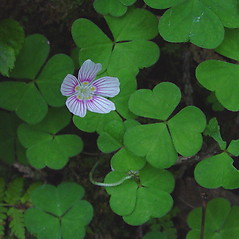 Leaves: Oxalis montana. ~ By Arthur Haines. ~ Copyright © 2020. ~ arthurhaines[at]wildblue.net