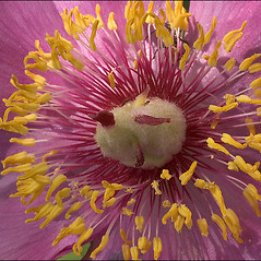 Flowers: Paeonia officinalis. ~ By Amadej Trnkoczy. ~ Copyright © 2020 Amadej Trnkoczy. ~ amadej.trnkoczy[at]siol.net ~ CalPhotos - calphotos.berkeley.edu/flora/