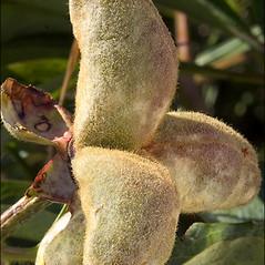 Fruits: Paeonia officinalis. ~ By Amadej Trnkoczy. ~ Copyright © 2020 Amadej Trnkoczy. ~ amadej.trnkoczy[at]siol.net ~ CalPhotos - calphotos.berkeley.edu/flora/