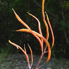 Fruits: Capnoides sempervirens. ~ By Donna Kausen. ~ Copyright © 2021 Donna Kausen. ~ 33 Bears Den, Addison, ME 04606
