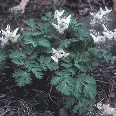 Plant form: Dicentra cucullaria. ~ By Adelaide Pratt. ~ Copyright © 2021 New England Wild Flower Society. ~ Image Request, images[at]newenglandwild.org