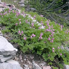 Plant form: Dicentra formosa. ~ By Keir Morse. ~ Copyright © 2021 Keir Morse. ~ www.keiriosity.com ~ www.keiriosity.com