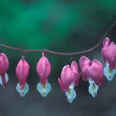 Flowers: Lamprocapnos spectabilis. ~ By Dorothy Long. ~ Copyright © 2021 New England Wild Flower Society. ~ Image Request, images[at]newenglandwild.org