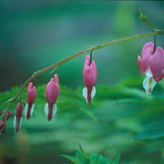 Flowers: Lamprocapnos spectabilis. ~ By Jeff Carmichael. ~ Copyright © 2020 New England Wild Flower Society. ~ Image Request, images[at]newenglandwild.org