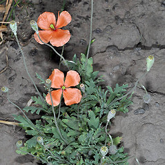 Plant form: Papaver dubium. ~ By Gerry Carr. ~ Copyright © 2020 Gerry Carr. ~ gdcarr[at]comcast.net ~ Oregon Flora Image Project - www.botany.hawaii.edu/faculty/carr/ofp/ofp_index.htm