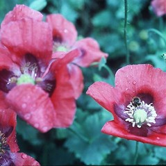 Flowers: Papaver rhoeas. ~ By Robert Kowal. ~ Copyright © 2021 Robert Kowal. ~ Dept. of Botany, College of Letters and Science, 430 Lincoln Dr., Madison, WI 53706-1381 ~ Robert W. Freckmann Herbarium, U. of Wisconsin-Stevens Point