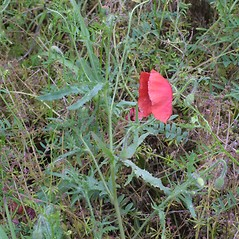 Plant form: Papaver rhoeas. ~ By Steven Baskauf. ~ Copyright © 2021 CC-BY-NC-SA. ~  ~ Bioimages - www.cas.vanderbilt.edu/bioimages/frame.htm