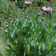 Plant form: Papaver somniferum. ~  ~ Copyright © 2020. ~