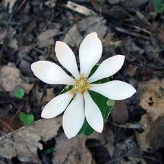 Flowers: Sanguinaria canadensis. ~ By Arthur Haines. ~ Copyright © 2021 Arthur Haines. ~ arthur.d.haines[at]gmail.com