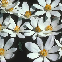 Flowers: Sanguinaria canadensis. ~ By David Longland. ~ Copyright © 2021 New England Wild Flower Society. ~ Image Request, images[at]newenglandwild.org