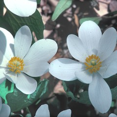 Flowers: Sanguinaria canadensis. ~ By William Larkin. ~ Copyright © 2021 New England Wild Flower Society. ~ Image Request, images[at]newenglandwild.org