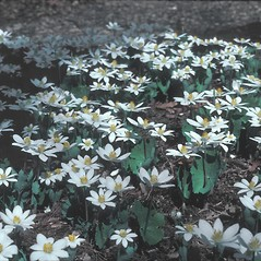 Plant form: Sanguinaria canadensis. ~ By Dorothy Long. ~ Copyright © 2021 New England Wild Flower Society. ~ Image Request, images[at]newenglandwild.org