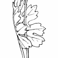 Plant form: Sanguinaria canadensis. ~ By Gordon Morrison. ~ Copyright © 2021 New England Wild Flower Society. ~ Image Request, images[at]newenglandwild.org