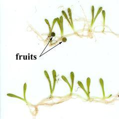 Fruits: Glossostigma cleistanthum. ~ By Connecticut Agricultural Experiment Station. ~  Public Domain. ~  ~ www.ct.gov/caes/lib/caes/invasive_aquatic_plant_program/