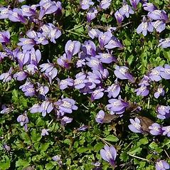 Flowers: Mazus miquelii. ~ By Paul S. Drobot. ~ Copyright © 2020 Paul S. Drobot. ~ www.plantstogrow.com, www.plantstockphotos.com ~ Robert W. Freckmann Herbarium, U. of Wisconsin-Stevens Point