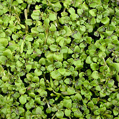 Leaves: Mimulus guttatus. ~ By Keir Morse. ~ Copyright © 2020 Keir Morse. ~ www.keiriosity.com ~ www.keiriosity.com