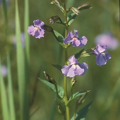 Plant form: Mimulus ringens. ~ By John Lynch. ~ Copyright © 2021 New England Wild Flower Society. ~ Image Request, images[at]newenglandwild.org