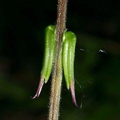 Stems: Phryma leptostachya. ~ By Keir Morse. ~ Copyright © 2021 Keir Morse. ~ www.keiriosity.com ~ www.keiriosity.com