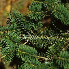 Leaves: Abies homolepis. ~ By Glenn Dreyer. ~ Copyright © 2021 Glenn Dreyer. ~ None needed