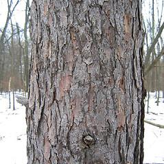 Bark: Larix decidua. ~ By Alexey Zinovjev. ~ Copyright © 2020. ~ webmaster[at]salicicola.com ~ Salicicola - www.salicicola.com/