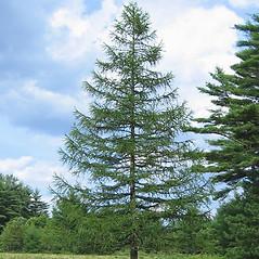 Plant form: Larix decidua. ~ By Alexey Zinovjev. ~ Copyright © 2020. ~ webmaster[at]salicicola.com ~ Salicicola - www.salicicola.com/