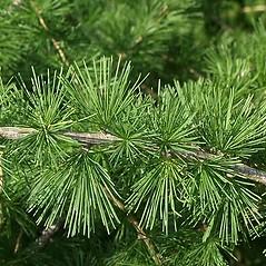 Leaves: Larix decidua. ~ By Paul S. Drobot. ~ Copyright © 2020 Paul S. Drobot. ~ www.plantstogrow.com, www.plantstockphotos.com ~ Robert W. Freckmann Herbarium, U. of Wisconsin-Stevens Point