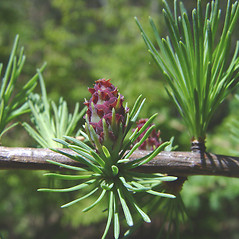 Flowers: Larix laricina. ~ By Donald Cameron. ~ Copyright © 2020 Donald Cameron. ~ No permission needed for non-commercial uses, with proper credit