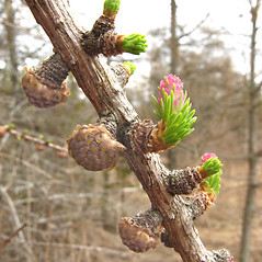 Flowers: Larix laricina. ~ By Donna Kausen. ~ Copyright © 2020 Donna Kausen. ~ 33 Bears Den, Addison, ME 04606