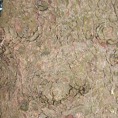 Bark: Picea abies. ~ By Glenn Dreyer. ~ Copyright © 2020 Glenn Dreyer. ~ None needed