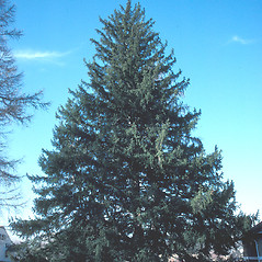 Plant form: Picea abies. ~ By John Lynch. ~ Copyright © 2019 New England Wild Flower Society. ~ Image Request, images[at]newenglandwild.org
