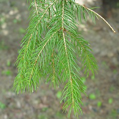 Leaves: Picea abies. ~ By Arthur Haines. ~ Copyright © 2021. ~ arthurhaines[at]wildblue.net