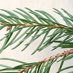 Leaves: Picea abies. ~ By Arieh Tal. ~ Copyright © 2020 Arieh Tal. ~ www.nttlphoto.com ~ Arieh Tal - www.nttlphoto.com