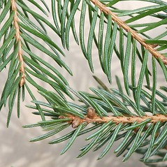 Comparison: Picea abies. ~ By Arieh Tal. ~ Copyright © 2020 Arieh Tal. ~ www.nttlphoto.com ~ Arieh Tal - www.nttlphoto.com