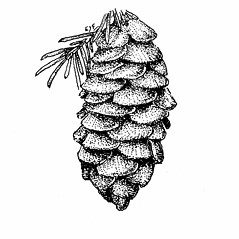 Fruits: Picea glauca. ~ By Elizabeth Farnsworth. ~ Copyright © 2021 New England Wild Flower Society. ~ Image Request, images[at]newenglandwild.org
