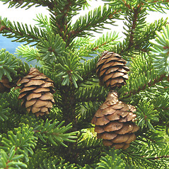 Fruits: Picea mariana. ~ By Donna Kausen. ~ Copyright © 2021 Donna Kausen. ~ 33 Bears Den, Addison, ME 04606