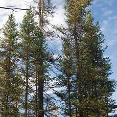 Plant form: Picea mariana. ~ By Ben Kimball. ~ Copyright © 2021 Ben Kimball. ~ alpinefin[at]comcast.net
