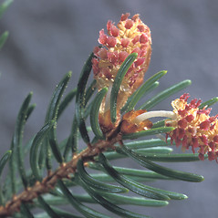 Flowers: Picea rubens. ~ By Adelaide Pratt. ~ Copyright © 2021 New England Wild Flower Society. ~ Image Request, images[at]newenglandwild.org