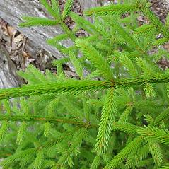 Plant form: Picea rubens. ~ By Glen Mittelhauser. ~ Copyright © 2020 Glen Mittelhauser. ~ www.mainenaturalhistory.org