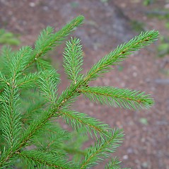 Leaves: Picea rubens. ~ By Arthur Haines. ~ Copyright © 2021. ~ arthurhaines[at]wildblue.net