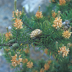 Fruits: Pinus banksiana. ~ By Frank Bramley. ~ Copyright © 2021 New England Wild Flower Society. ~ Image Request, images[at]newenglandwild.org