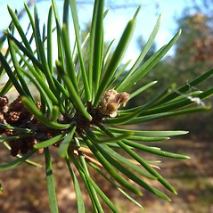 Winter buds: Pinus banksiana. ~ By Jill Weber. ~ Copyright © 2021 Jill Weber. ~ jillweber03[at]gmail.com